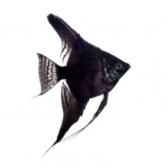 Angel Fish Black